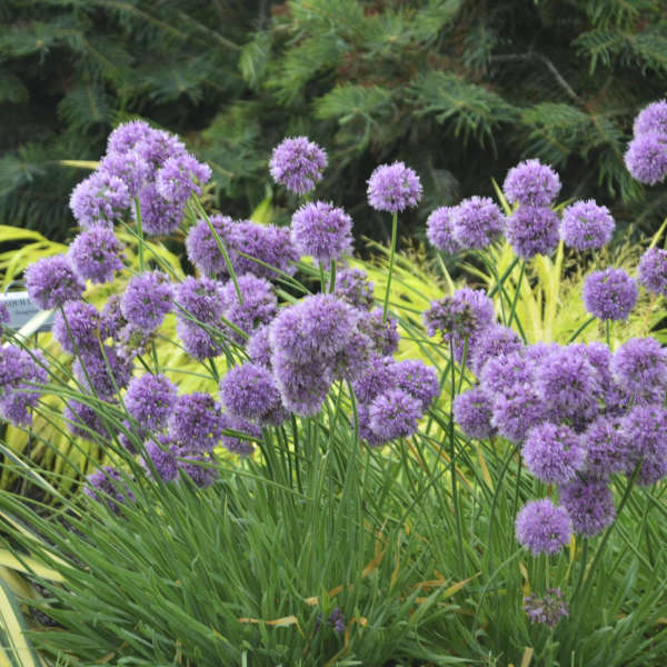 Allium 'Medusa' Ornamental Onion