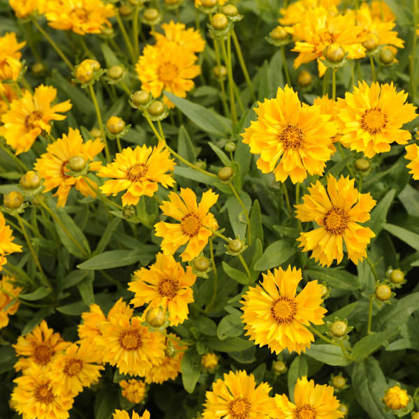 Coreopsis jethro tull pp18789 walters gardens inc download images mightylinksfo