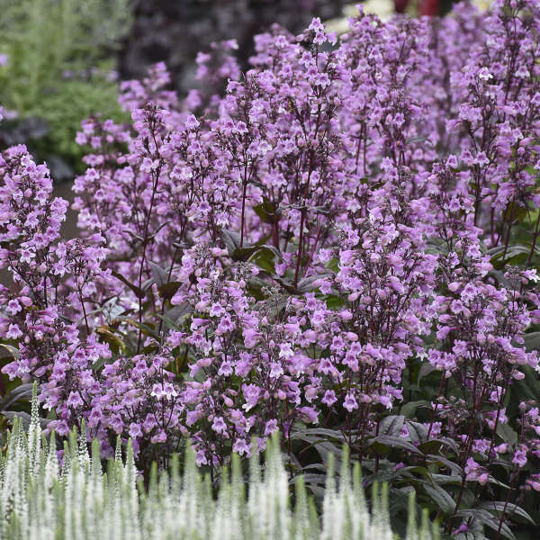 Penstemon 'Midnight Masquerade' Beardtongue