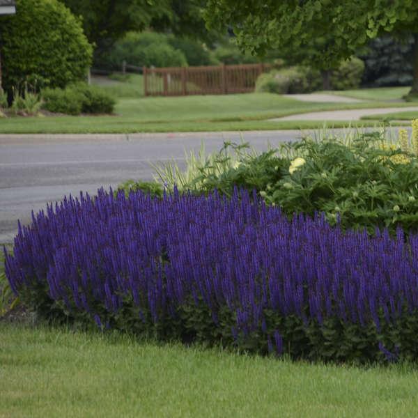 Salvia 'Violet Riot' Perennial Salvia