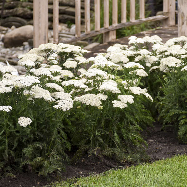 Achillea 'Firefly Diamond' Yarrow