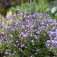 Clematis 'Violet Stardust'