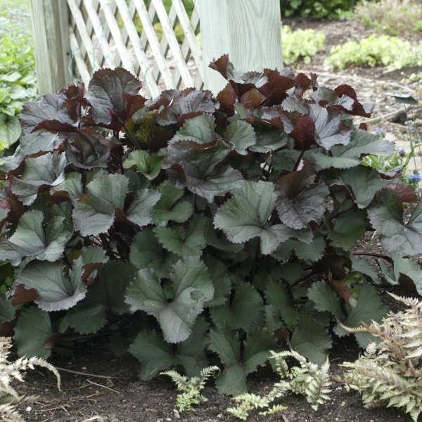 Ligularia 'Britt-Marie Crawford' Bigleaf Ligularia