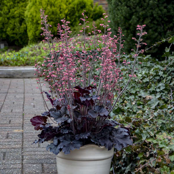 Heuchera 'Timeless Night' Coral Bells