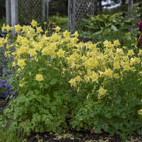Aquilegia 'Goldfinch'
