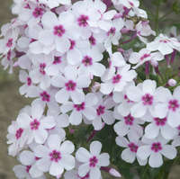 Phlox FLAME&#8482 Series White Eye