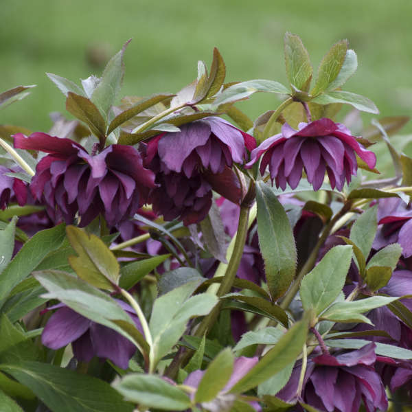 Helleborus 'True Love' Lenten Rose