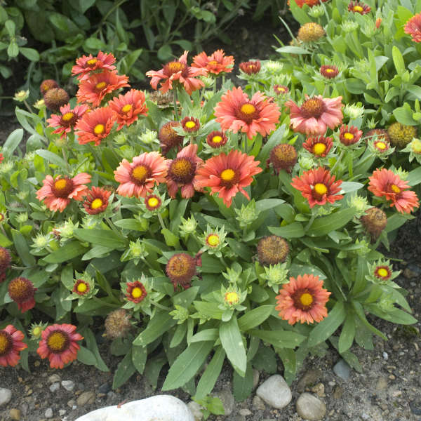 Gaillardia 'Arizona Red Shades' Blanket Flower