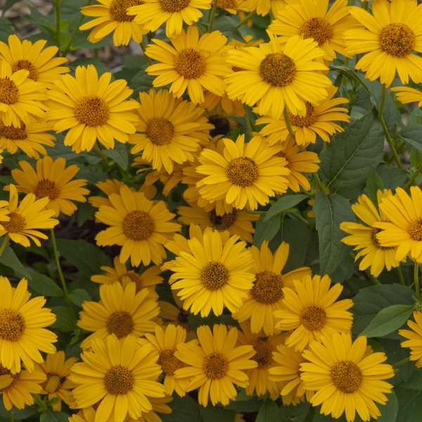 Heliopsis 'Tuscan Sun' False Sunflower