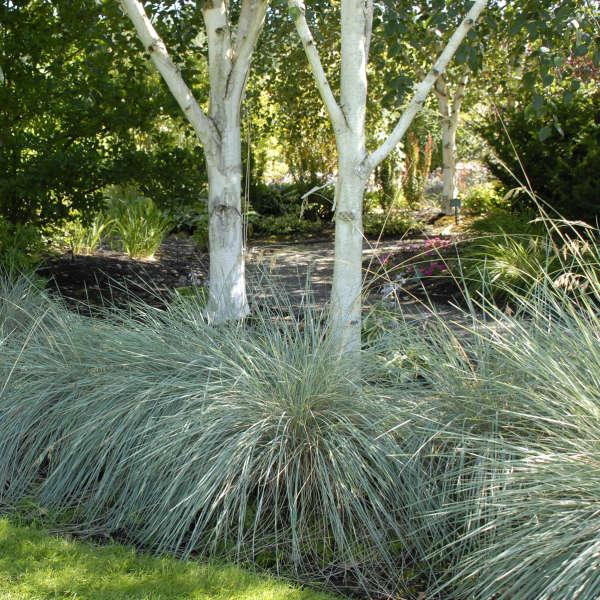 Helictotrichon sempervirens Blue Oat Grass