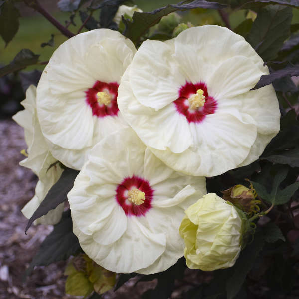 Hibiscus 'French Vanilla' Rose Mallow
