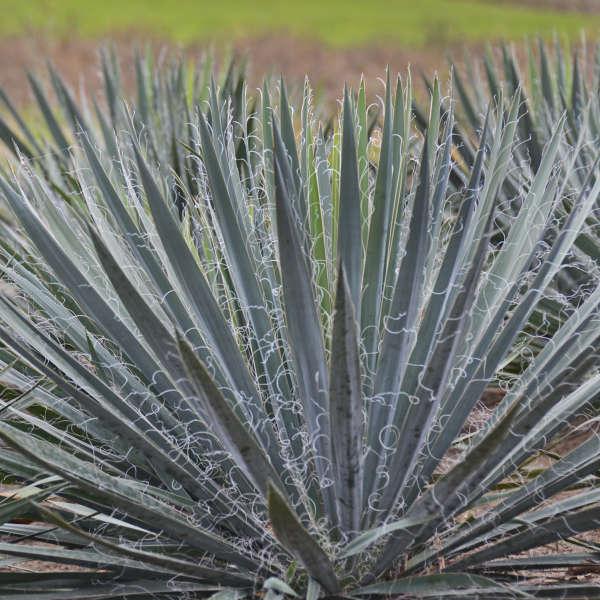 Yucca 'Excalibur' Adam's Needle