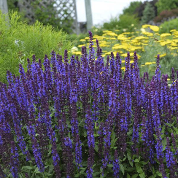 Salvia New Dimension Blue perennial plant in a 13cm pot Deep blue flowers