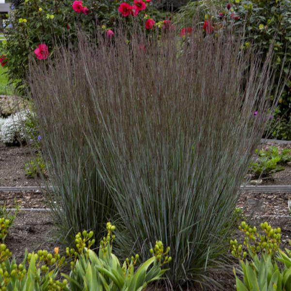 Schizachyrium scoparium blue paradise pp28145 cpbr5650 walters download images ornamental grass grower tips workwithnaturefo