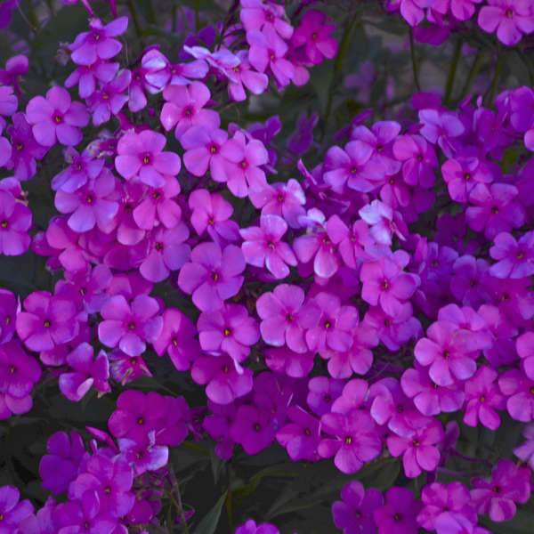 Phlox 'Cloudburst' Tall Cushion Phlox