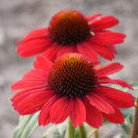 Echinacea 'Cardinal Crest'