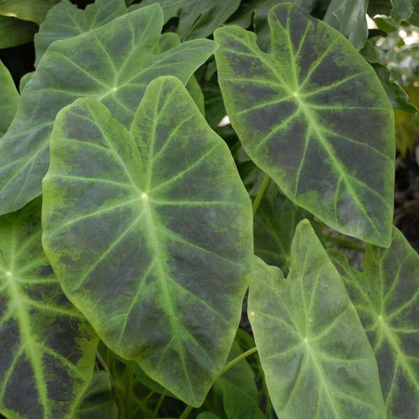 Colocasia Esculenta Illustris Perennial Resource