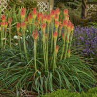 Kniphofia 'Fire Dance'