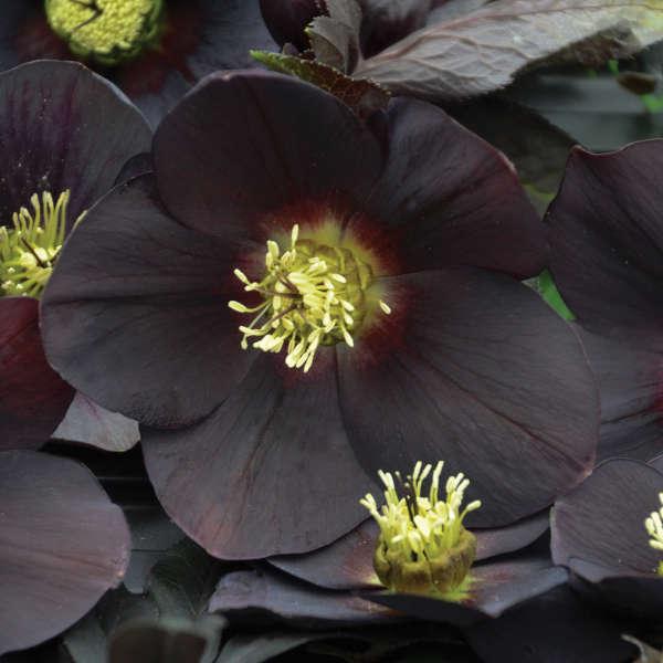 Helleborus 'New York Night' Lenten Rose