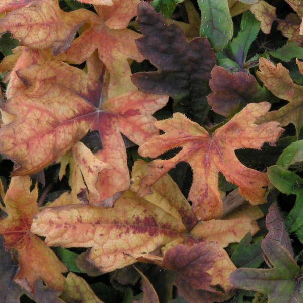 Tiarella 'Spring Symphony' Foamflower