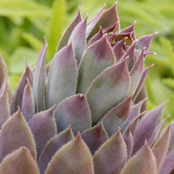 Sempervivum 'Purple Beauty' Hen & Chicks