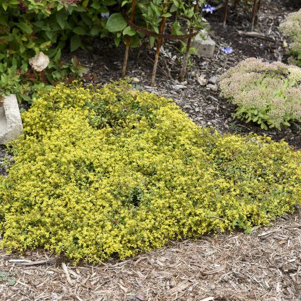 Sedum 'Yellow Brick Road' Stonecrop