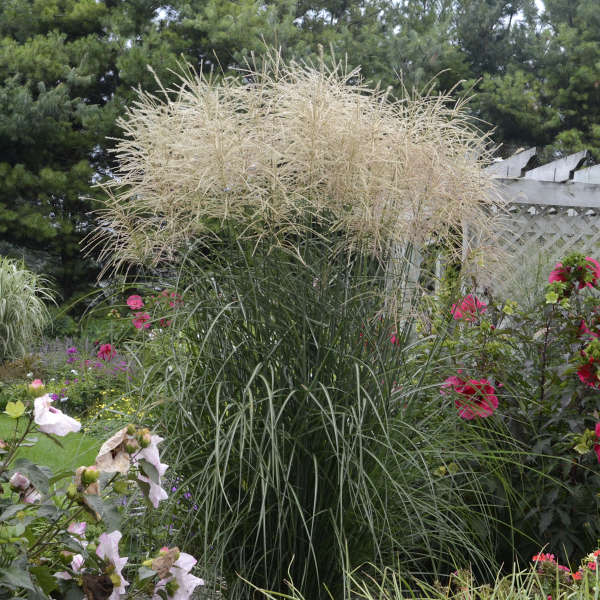 Miscanthus 'Encore' Ornamental Grass