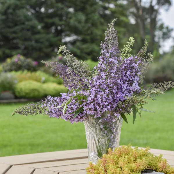 Buddleia 'Lilac Cascade' Butterfly Bush
