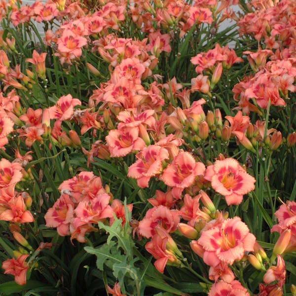 Hemerocallis 'Strawberry Candy' Daylily