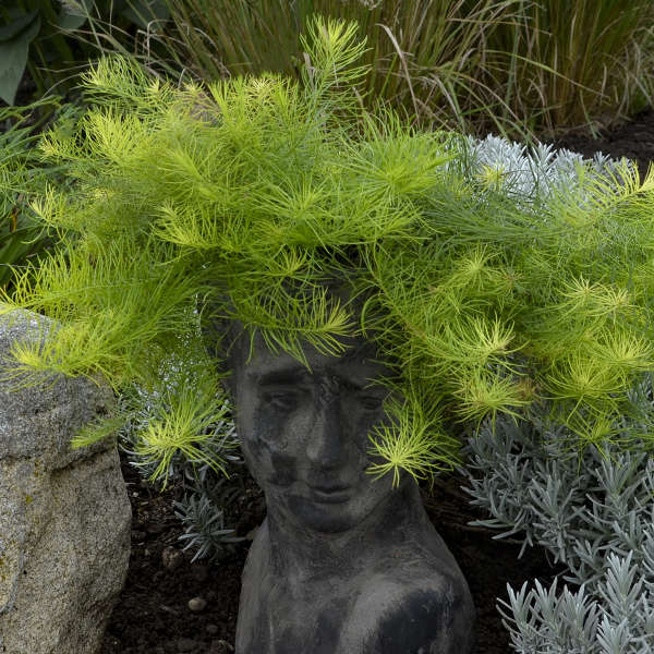 Amsonia 'Georgia Pancake' Creeping Blue Star