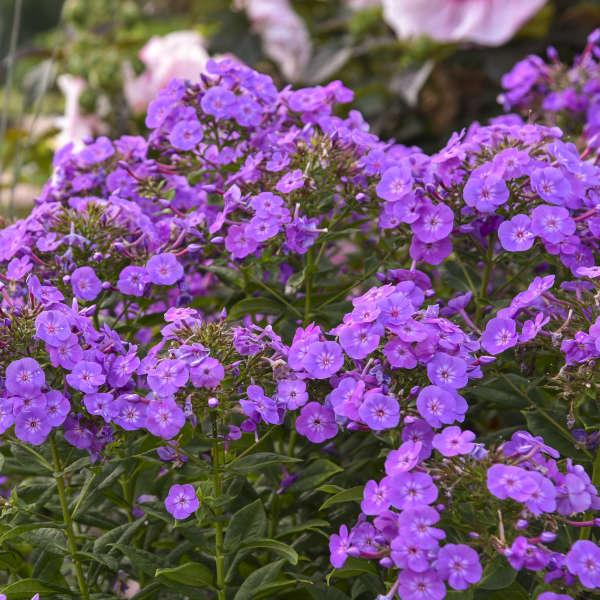 Phlox 'Cover Girl' Tall Garden Phlox