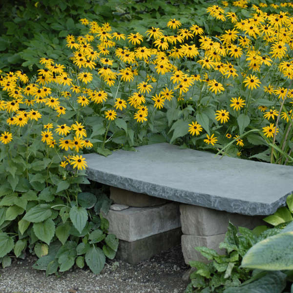Rudbeckia fulgida goldsturm perennial resource rudbeckia goldsturm black eyed susan mightylinksfo