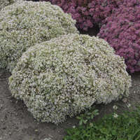 Sedum 'Bundle of Joy'