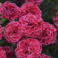Dianthus 'Raspberry Ruffles'