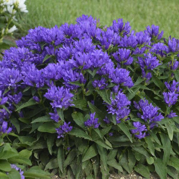 Campanula Genti Blue 'Allgentibl' Clustered Bellflower