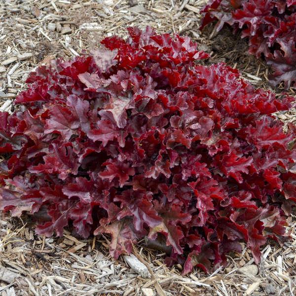 Heuchera 'Cherry Truffles' Coral Bells
