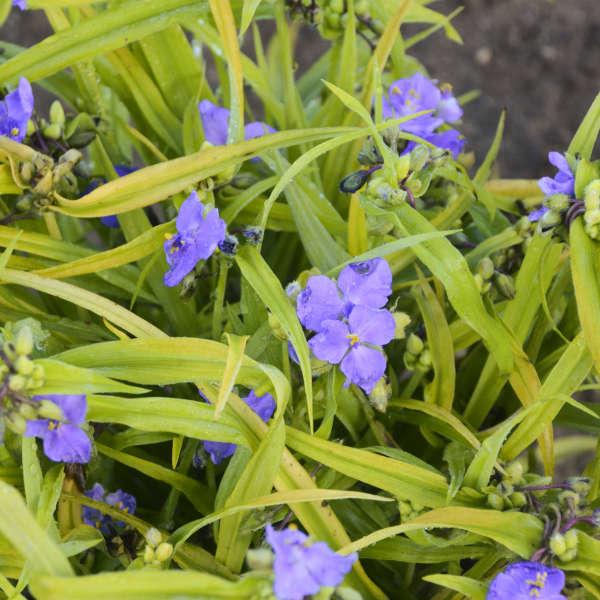 Tradescantia 'Charlotte's Web' Spiderwort