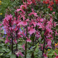 Lobelia 'Starship Deep Rose'