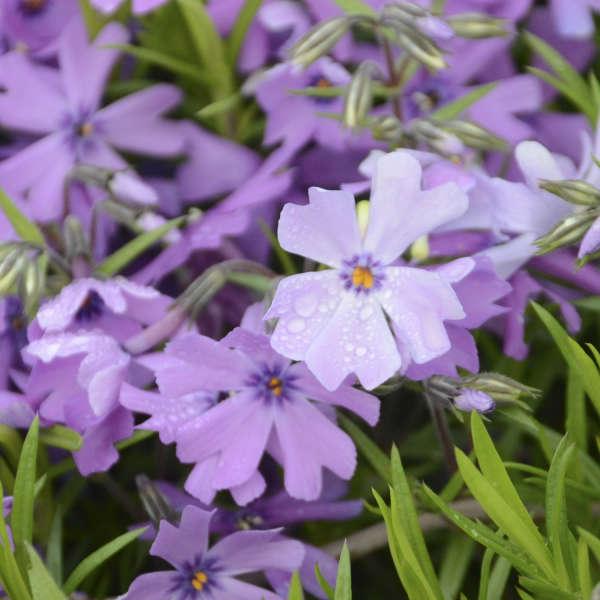 Phlox 'Purple Beauty' Creeping Phlox