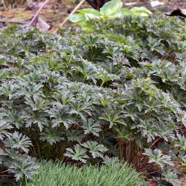 Geranium 'Boom Chocolatta' Hardy Geranium
