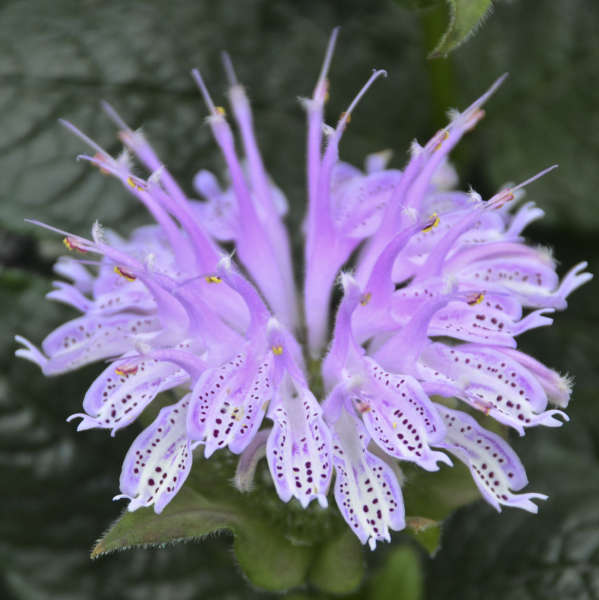 Monarda 'Leading Lady Lilac' Bee Balm