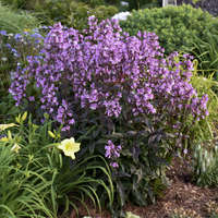 Penstemon 'Midnight Masquerade'