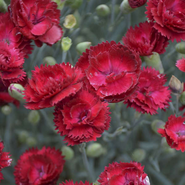 c96691d24ee6 Dianthus  Electric Red  PP29591