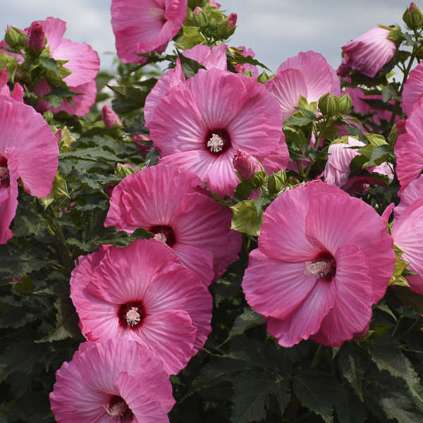 Hibiscus airbrush effect pp29295 walters gardens inc download images mightylinksfo