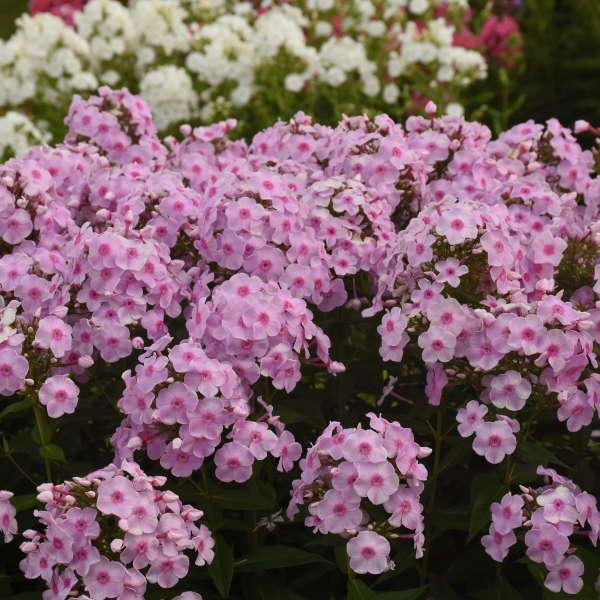 Phlox 'Opalescence' Tall Garden Phlox