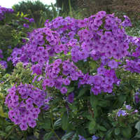 Phlox FLAME™ Series Purple