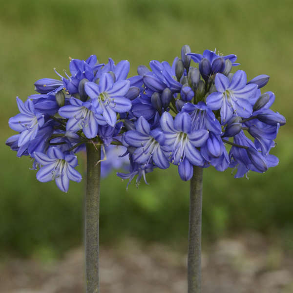 Agapanthus 'Galaxy Blue' Lily of the Nile