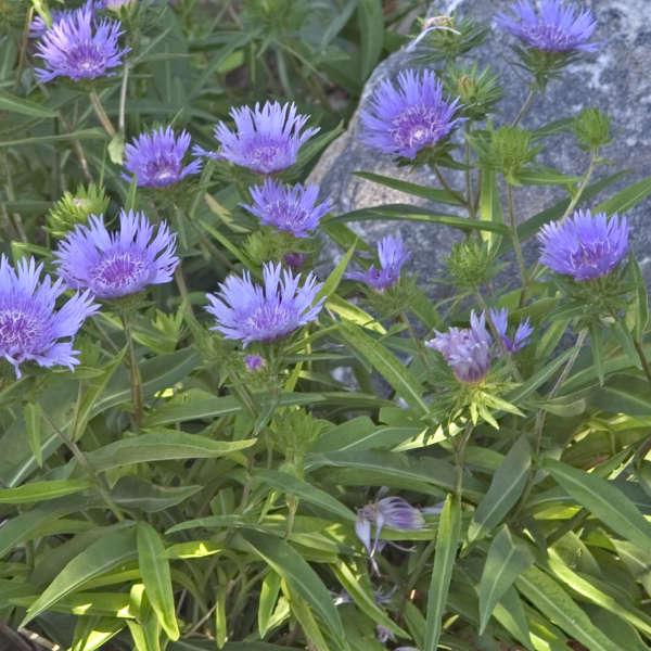 Stokesia Laevis Klaus Jelitto Perennial Resource