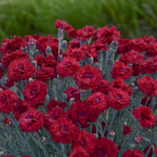 Dianthus 'Maraschino' Pinks