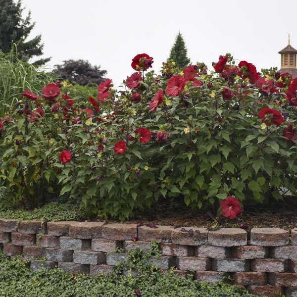 Hibiscus vintage wine pp27839 walters gardens inc hibiscus vintage wine rose mallow mightylinksfo